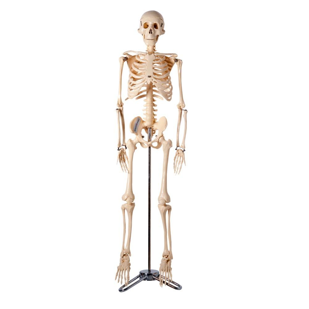 Esqueleto Anatômico 85 cm TGD-0112 Anatomic